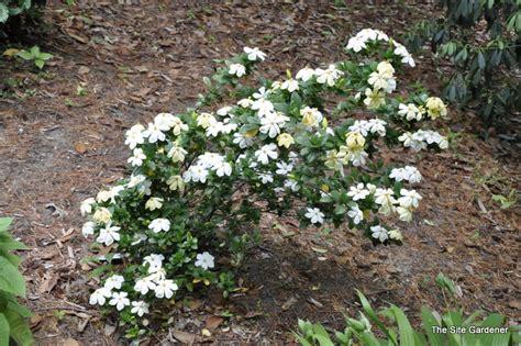 Gardenia Kleim S Hardy Pruning Gardenia Jasminoides Kleims Hardy The Site Gardener
