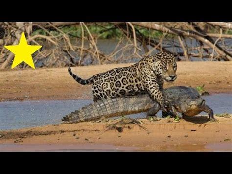 crocodile  jaguar real fight highlight youtube