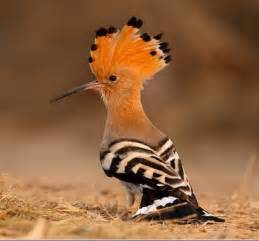 on blogging a hoopoe queen elizabeth i and a dickcissel