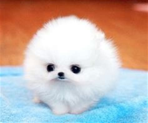 where can i buy teacup pomeranian white teacup pomeranian useful things for haircuts