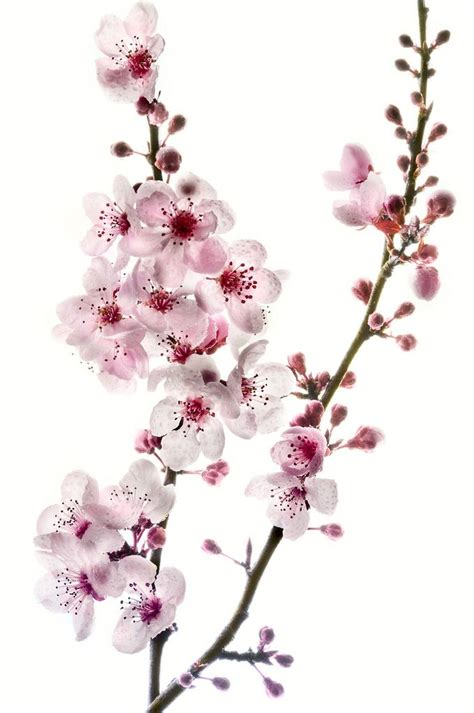 a cherry tree meaning 17 best ideas about cherry tree tattoos on cherry blossom meaning japanese