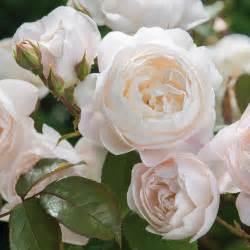 desdemona david austin roses