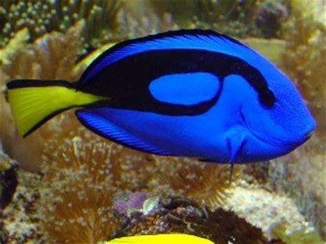 Ikan Hias Laut Letter Six Dori Tiny tangs surgeonfish unicornfishes
