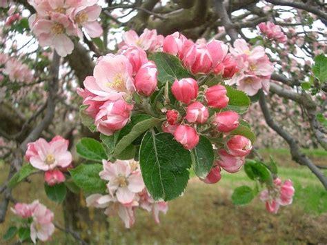 fiori di melo fiori di melo fiori di piante