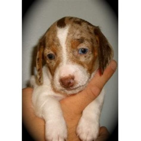free puppies in indianapolis hoosier hound dachshund breeder in indianapolis indiana
