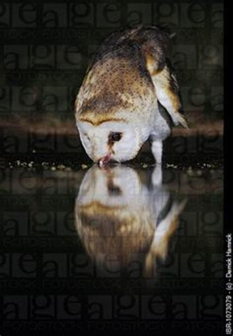 1000 images about barn owl on pinterest barn owls owl