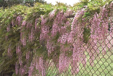 pianta glicine vaso glicine in vaso ricanti coltivazione glicine