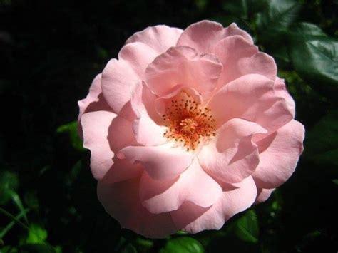 fiore commestibile quot una rosa 232 una rosa 232 una rosa quot permacultura transizione