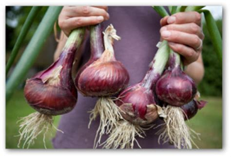 How To Store Onions From The Garden by Harvesting Onions And How To Store Them
