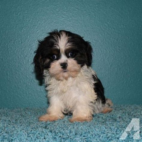 cavalier shih tzu puppies adorable cava tzu puppies cavalier shih tzu for sale in valley minnesota