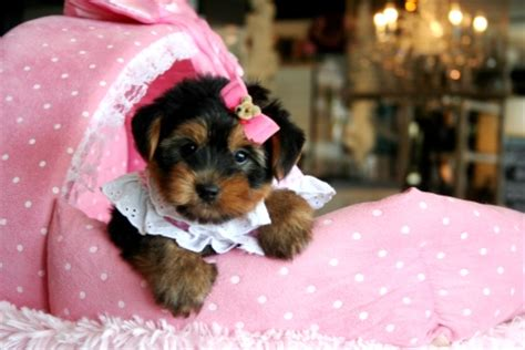 yorkie miami teacup yorkies for sale in miami teacup yorkies in miami teacup yorkie dogs