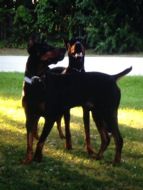 doberman puppies for sale in chicago 1000 ideas about doberman for sale on doberman pinscher puppy doberman