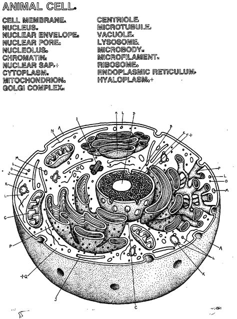 unlabeled cell diagram cell picture unlabeled images