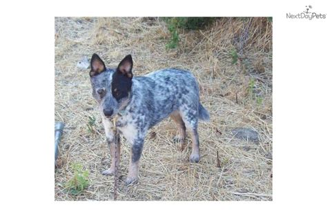 qld blue the gallery for gt australian cattle puppies blue heeler