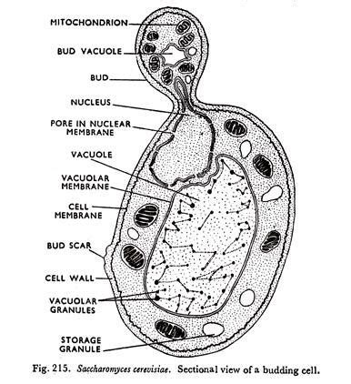 cell structure  yeast  diagram fungi