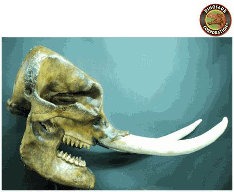 mastadon tusk mastodon skull with tusks