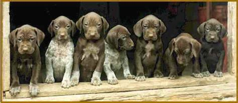 german shorthair puppies sled central egil ellis part 1