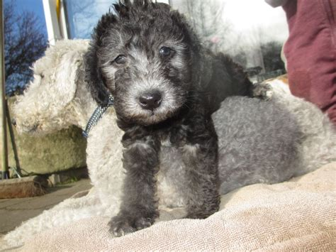bedlington terrier puppies for sale 1000 images about bedlington terrier dogs on not enough tricycle and