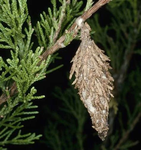 bag moth control  bagworm moth pests