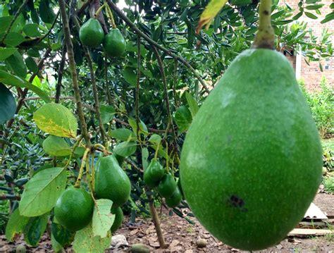 Alpukat Hawai Jumbo buah kasih sayang ibu danan wahyu sumirat