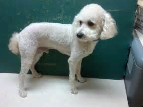 bichon poo haircuts bichon poodle haircut styles bing images