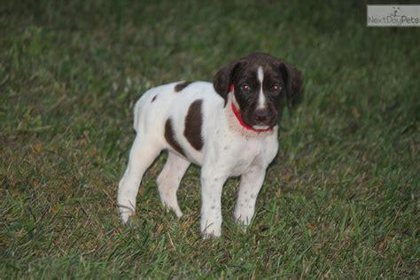 german shorthaired pointer puppies illinois german shorthaired pointer puppies illinois