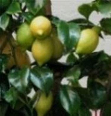 pianta limone in vaso cura limone in vaso domande e risposte orto e frutta