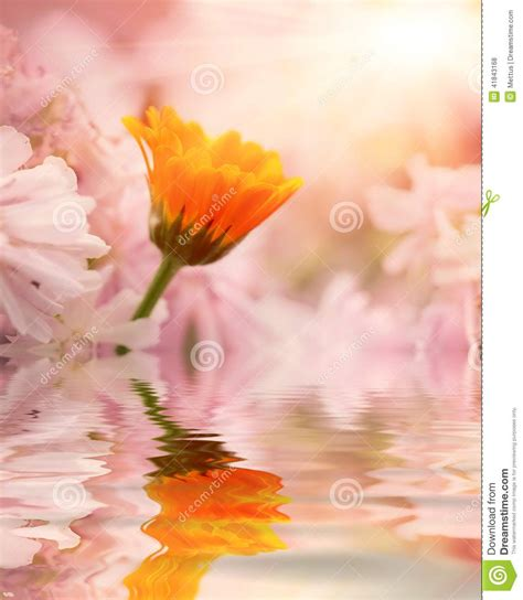 colorful flowers picture orange flowers in bloom light one orange flower against pink flowers with reflection in