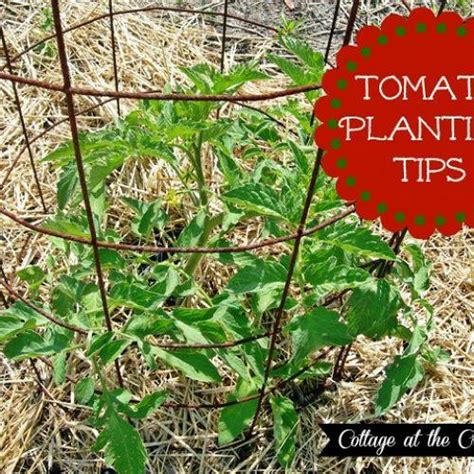 our tomato planting tips hometalk