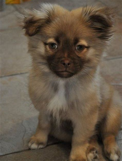 shih tzu and pomeranian puppies my puppy oliver pomeranian shih tzu mix animal friends puppys and