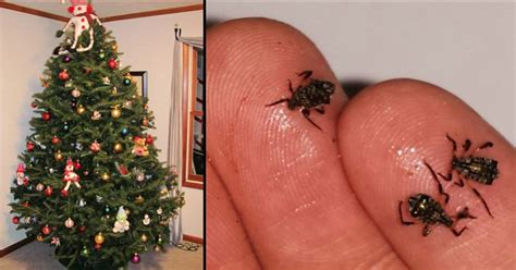 your real christmas tree may be full of bugs health