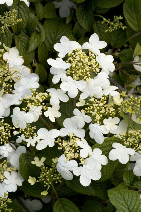 summer climbing plants summer snowflake viburnum echoes the shape of the
