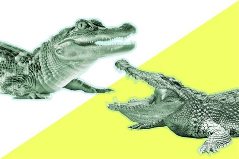 libro alligators and crocodiles national drawn alligator vamos pencil and in color drawn alligator vamos