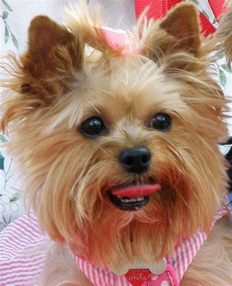 yorkie hair cutes face rounded 14 best yorkie style inspiration images on pinterest