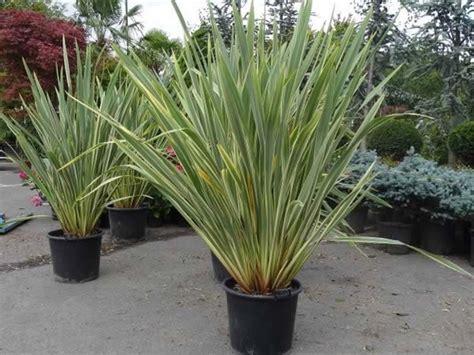 Variegated Foliage Plants - phormium tenax buy online uk wide amp in store london