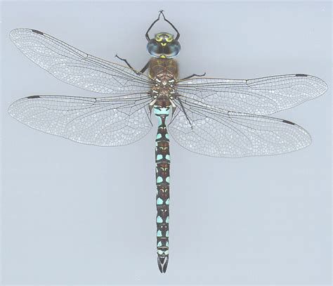 Common Dragonflies Of California california darner 183 of puget sound