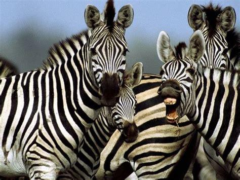 zebra pattern facts zebra stripes facts about zebra coloration