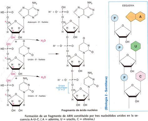 cadenas de adn y arn ejercicios acidos nucleicos