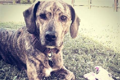 brindle breeds brindle mountain feist breeds picture
