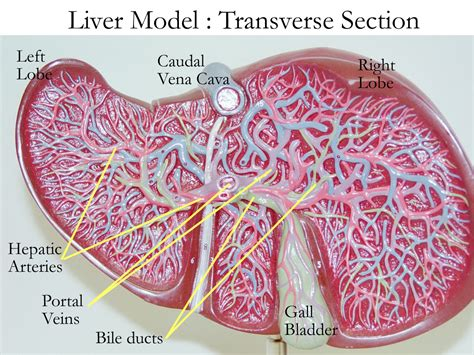 Liver Sections by Biology 2404 A P Basics