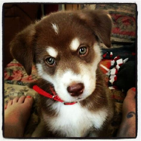 husky lab mix puppies for sale near me best 25 husky lab mixes ideas on husky lab mix puppy lab mix puppies and