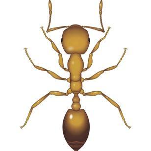 pharaoh ant pest control bayer