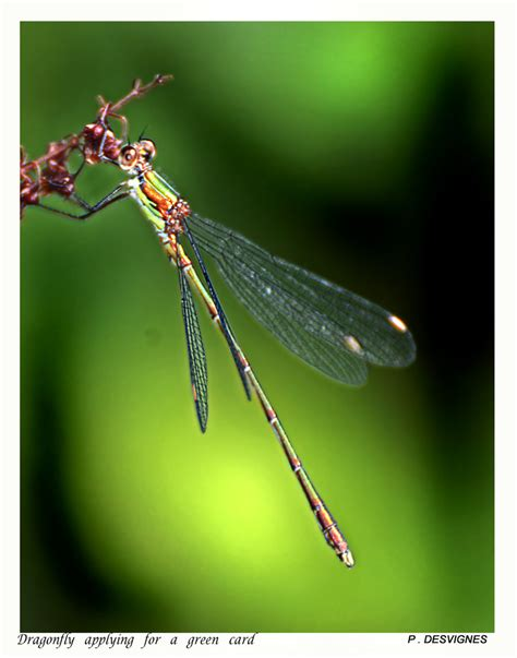 green dragonfly l dragonfly in green by bracketting94 on deviantart