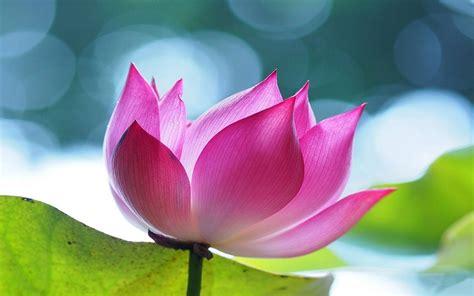 wallpaper pink lotus pink lotus flowers hd wallpaper 4a wallpapers13 com