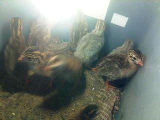 ayam mutiara ayam api api dinara agro farm ayam mutiara api api pembiakan dan