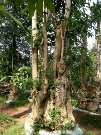 jual pohon pule murah pohon peneduh bonsai pule fosil