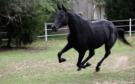 black mustang horse hd animals wallpapers beautiful wild horses