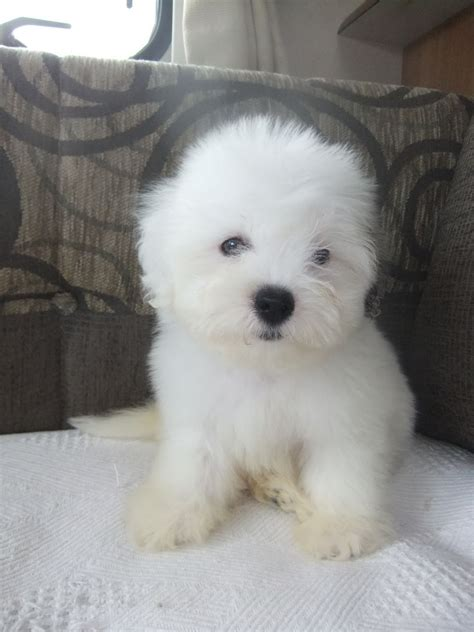 coton de tulear puppy bred coton de tulear puppies available warrington cheshire pets4homes