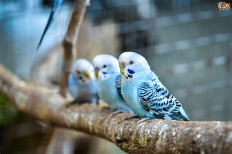Buys A Parakeet by Twenty Five And Interesting Facts About Budgies