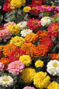 zinnia flower zinnia flower elegans linearis asteraceae family pictures info flowers gallery